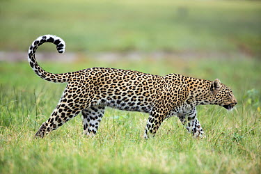 Leopard (Panthera pardus) female, Chobe National Park, Botswana  -  Richard Du Toit
