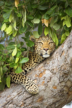 Leopard (Panthera pardus) female in tree, Chobe National Park, Botswana  -  Richard Du Toit