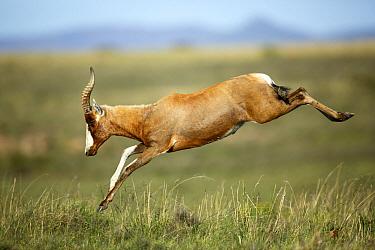 Blesbok (Damaliscus pygargus phillipsi) jumping, Mountain Zebra National Park, South Africa  -  Richard Du Toit