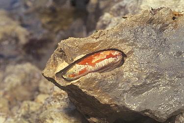 Mussel (Lithophaga curta) in rock, Kanagawa, Japan  -  Kobori Fumihiko/ Nature Producti