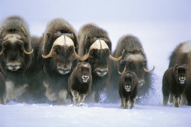 Muskox (Ovibos moschatus) herd running through snow, Cambridge Bay, Canada  -  Tsugaru Yutaka/ Nature Productio