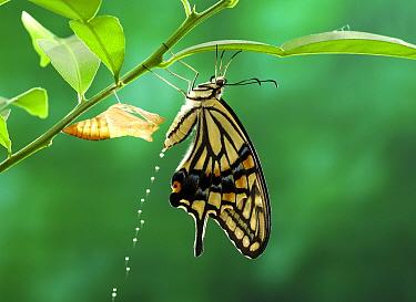Citrus Swallowtail (Papilio xuthus) butterfly urinating, Saitama, Japan  -  Moriue Nobuo/ Nature Production