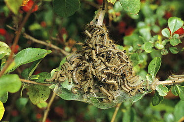 Lackey Moth (Malacosoma neustria) caterpillars, Japan  -  Zennokyo/ Nature Production