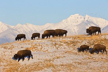 American Bison (Bison bison) females and calves grazing after late season snowstorm, western Montana  -  Donald M. Jones