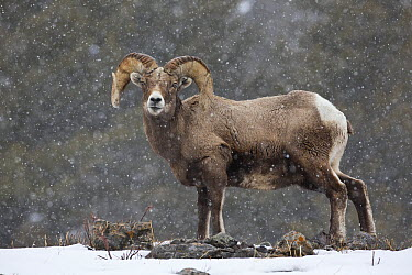 Bighorn Sheep (Ovis canadensis) ram in snowfall, Yellowstone National Park, Wyoming  -  Donald M. Jones