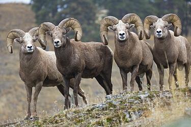 Bighorn Sheep (Ovis canadensis) rams, western Montana  -  Donald M. Jones