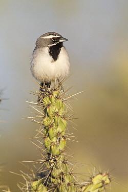 Black-throated Sparrow (Amphispiza bilineata) perching on cactus, Arizona  -  Donald M. Jones