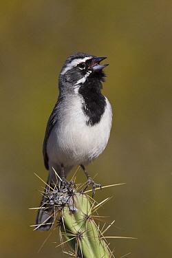 Black-throated Sparrow (Amphispiza bilineata) calling from cactus, Arizona  -  Donald M. Jones