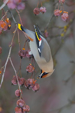 Bohemian Waxwing (Bombycilla garrulus) feeding on berries, Troy, Montana  -  Donald M. Jones