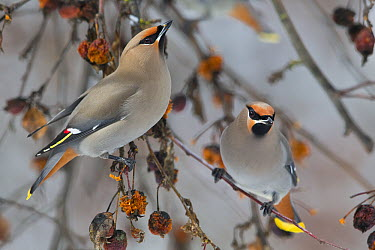 Bohemian Waxwing (Bombycilla garrulus) pair, Troy, Montana  -  Donald M. Jones