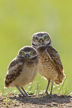 Burrowing Owl (Athene cunicularia) parent and owlet at burrow, Montana  -  Donald M. Jones