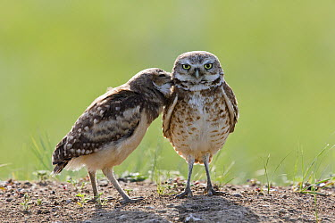 Burrowing Owl (Athene cunicularia) owlet greeting parent, Montana  -  Donald M. Jones
