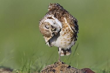 Burrowing Owl (Athene cunicularia) scratching head, North America  -  Donald M. Jones