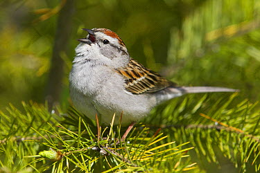 Chipping Sparrow (Spizella passerina) calling, North America  -  Donald M. Jones