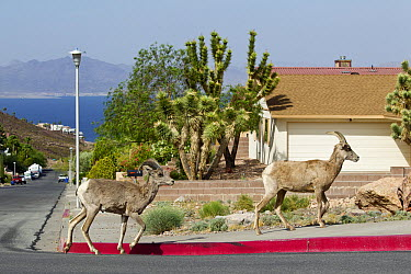 Desert Bighorn Sheep (Ovis canadensis nelsoni) pair in urban neighborhood, North America  -  Donald M. Jones