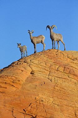 Desert Bighorn Sheep (Ovis canadensis nelsoni) family, North America  -  Donald M. Jones