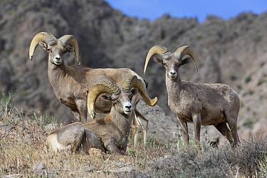 Desert Bighorn Sheep (Ovis canadensis nelsoni) rams, North America  -  Donald M. Jones