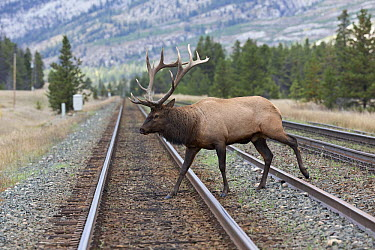 Rocky Mountain Elk (Cervus canadensis nelsoni) bull crossing train tracks, North America  -  Donald M. Jones