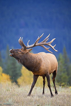 Rocky Mountain Elk (Cervus canadensis nelsoni) bull bugling, North America  -  Donald M. Jones