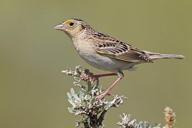 Grasshopper Sparrow (Ammodramus savannarum), North America  -  Donald M. Jones
