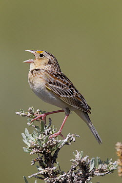 Grasshopper Sparrow (Ammodramus savannarum) calling, North America  -  Donald M. Jones