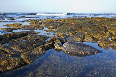 Green Sea Turtle (Chelonia mydas) in tidepool, Big Island, Hawaii  -  Donald M. Jones