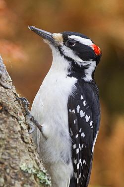Hairy Woodpecker (Picoides villosus) male, western Montana  -  Donald M. Jones