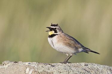 Horned Lark (Eremophila alpestris) male calling, Montana  -  Donald M. Jones