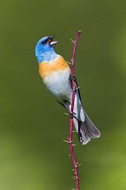 Lazuli Bunting (Passerina amoena) male calling, western Montana  -  Donald M. Jones