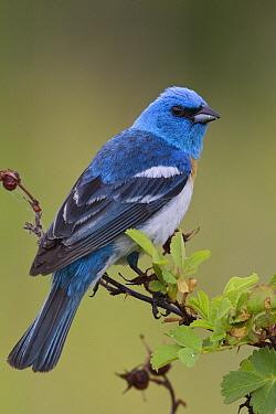 Lazuli Bunting (Passerina amoena) male, western Montana  -  Donald M. Jones