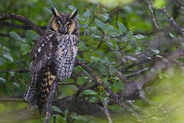 Long-eared Owl (Asio otus), western Montana  -  Donald M. Jones