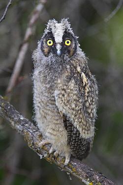 Long-eared Owl (Asio otus) owlet, western Montana  -  Donald M. Jones