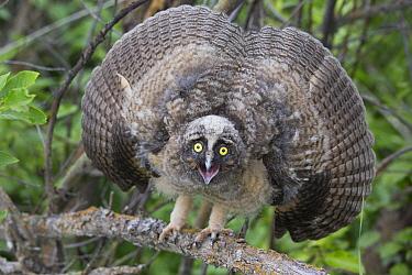 Long-eared Owl (Asio otus) owlet in defensive posture, western Montana  -  Donald M. Jones