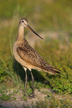 Marbled Godwit (Limosa fedoa), Montana  -  Donald M. Jones