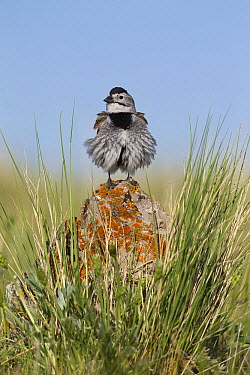 McCown's Longspur (Calcarius mccownii) with fluffed up feathers, Montana  -  Donald M. Jones