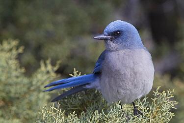 Transvolcanic Jay (Aphelocoma ultramarina), Arizona  -  Donald M. Jones
