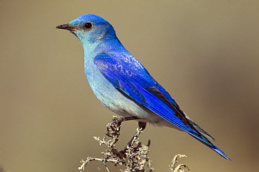 Mountain Bluebird (Sialia currucoides) male, Montana  -  Donald M. Jones
