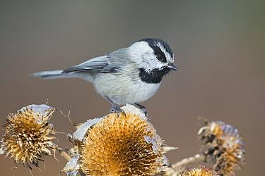 Mountain Chickadee (Poecile gambeli) in winter on dried flowers, Montana  -  Donald M. Jones