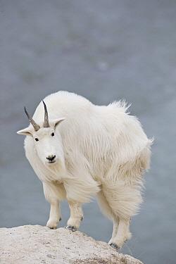 Mountain Goat (Oreamnos americanus), western Montana  -  Donald M. Jones