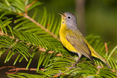Nashville Warbler (Oreothlypis ruficapilla) male calling, western Montana  -  Donald M. Jones