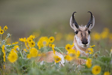 Pronghorn Antelope (Antilocapra americana) buck in flowers, western Montana  -  Donald M. Jones