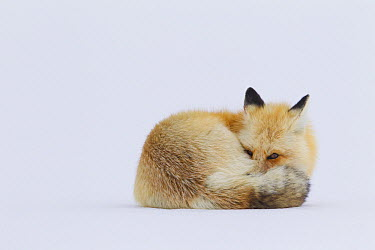 Red Fox (Vulpes vulpes) curled up in snow, Yellowstone National Park, Wyoming  -  Donald M. Jones