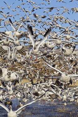 Snow Goose (Chen caerulescens) flock taking flight, central New Mexico  -  Donald M. Jones