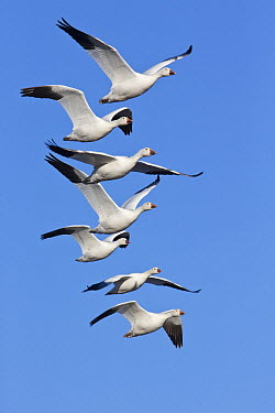 Snow Goose (Chen caerulescens) group flying, central New Mexico  -  Donald M. Jones