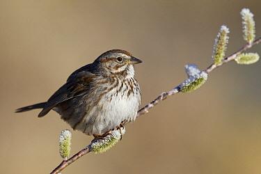 Song Sparrow (Melospiza melodia), western Montana  -  Donald M. Jones
