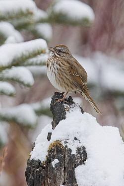 Song Sparrow (Melospiza melodia) calling, western Montana  -  Donald M. Jones