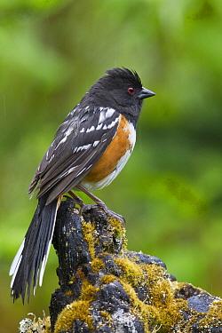 Spotted Towhee (Pipilo maculatus), Montana  -  Donald M. Jones