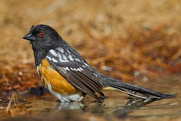 Spotted Towhee (Pipilo maculatus) bathing, Montana  -  Donald M. Jones