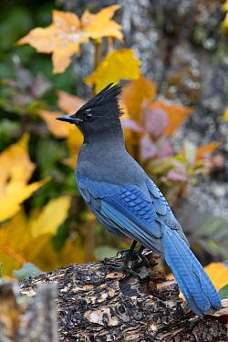Steller's Jay (Cyanocitta stelleri), Montana  -  Donald M. Jones