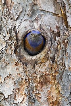 Western Bluebird (Sialia mexicana) male in nest cavity entrance, Montana  -  Donald M. Jones